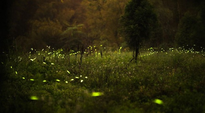 Fireflies13